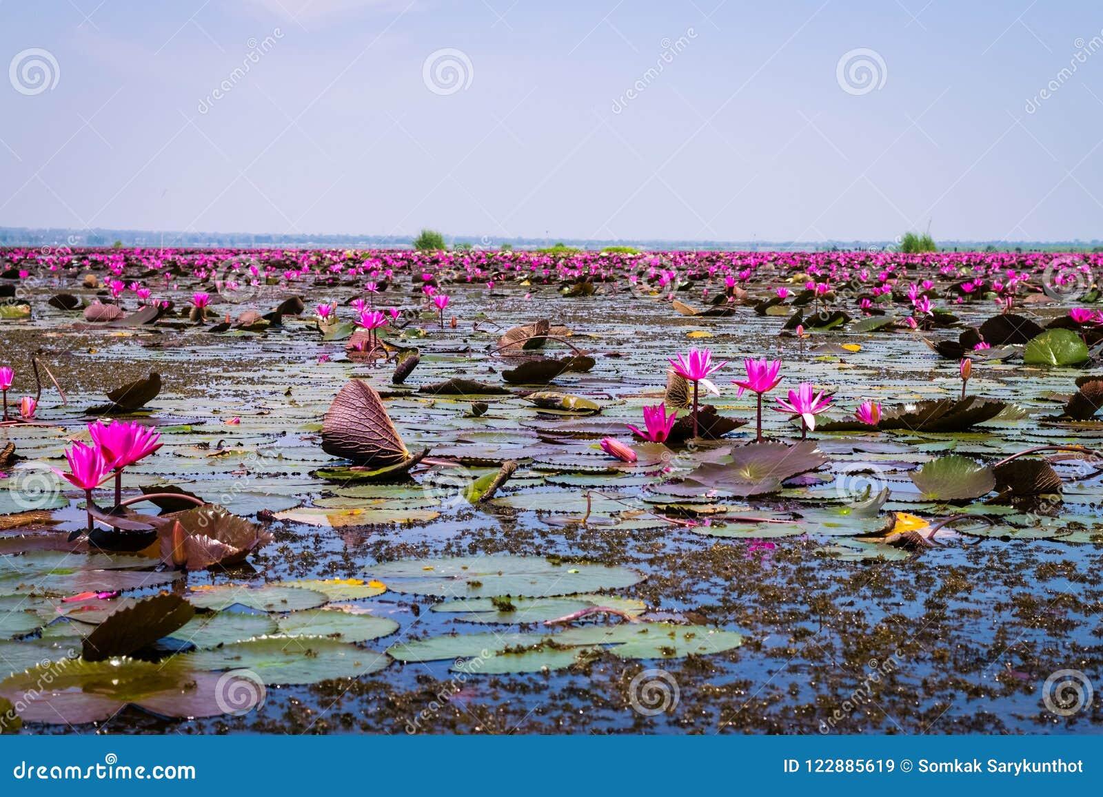 Het overzees van rode lotusbloem