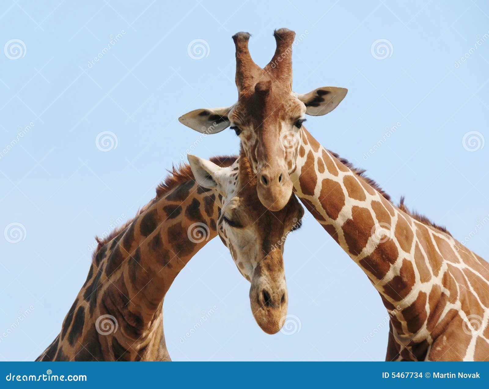 Het paar van de giraf in liefde