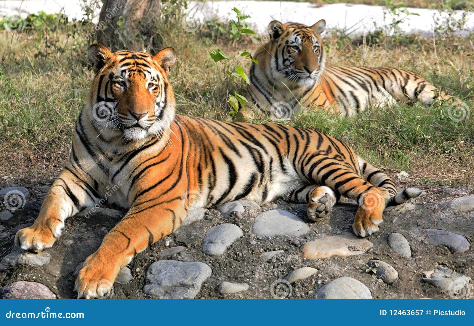 Het paar van de tijger