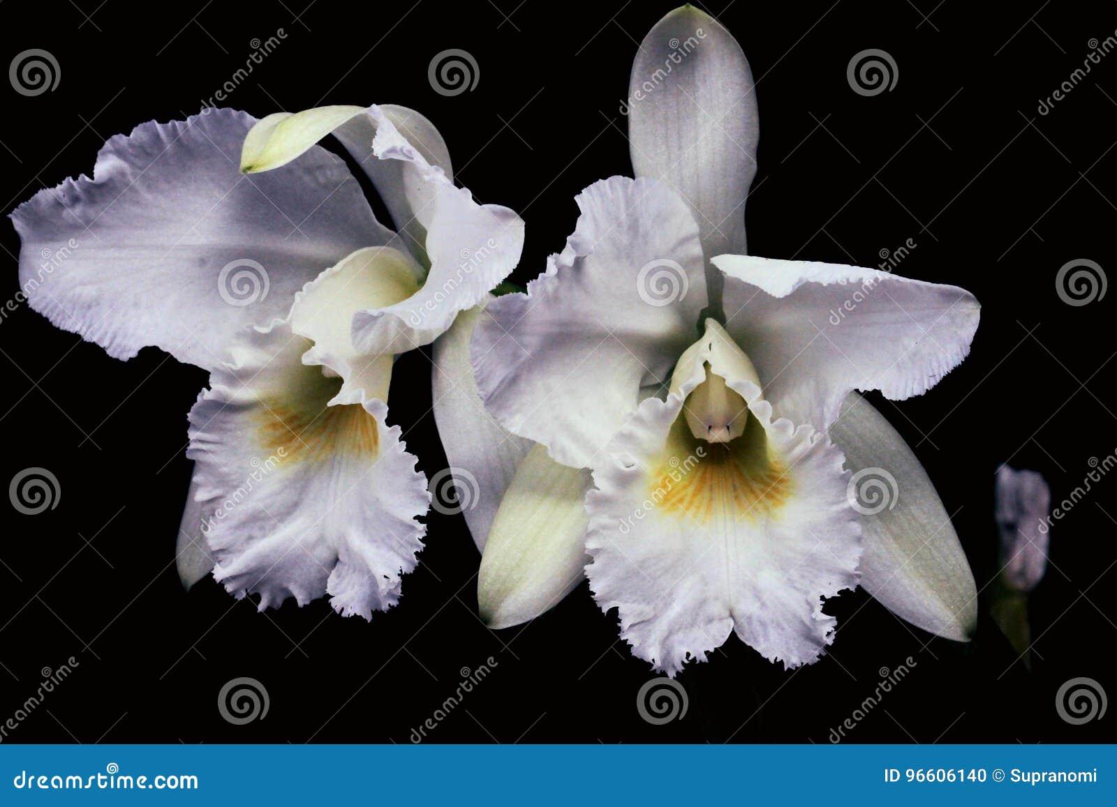 Het paar van Nice witte orchideeën