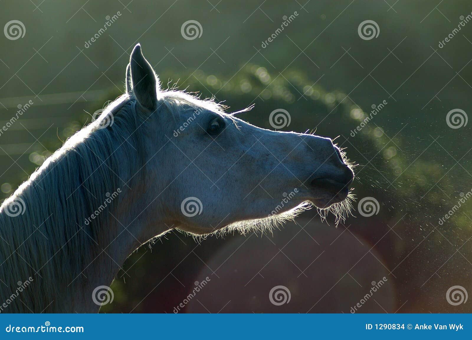 Het paard snurkt