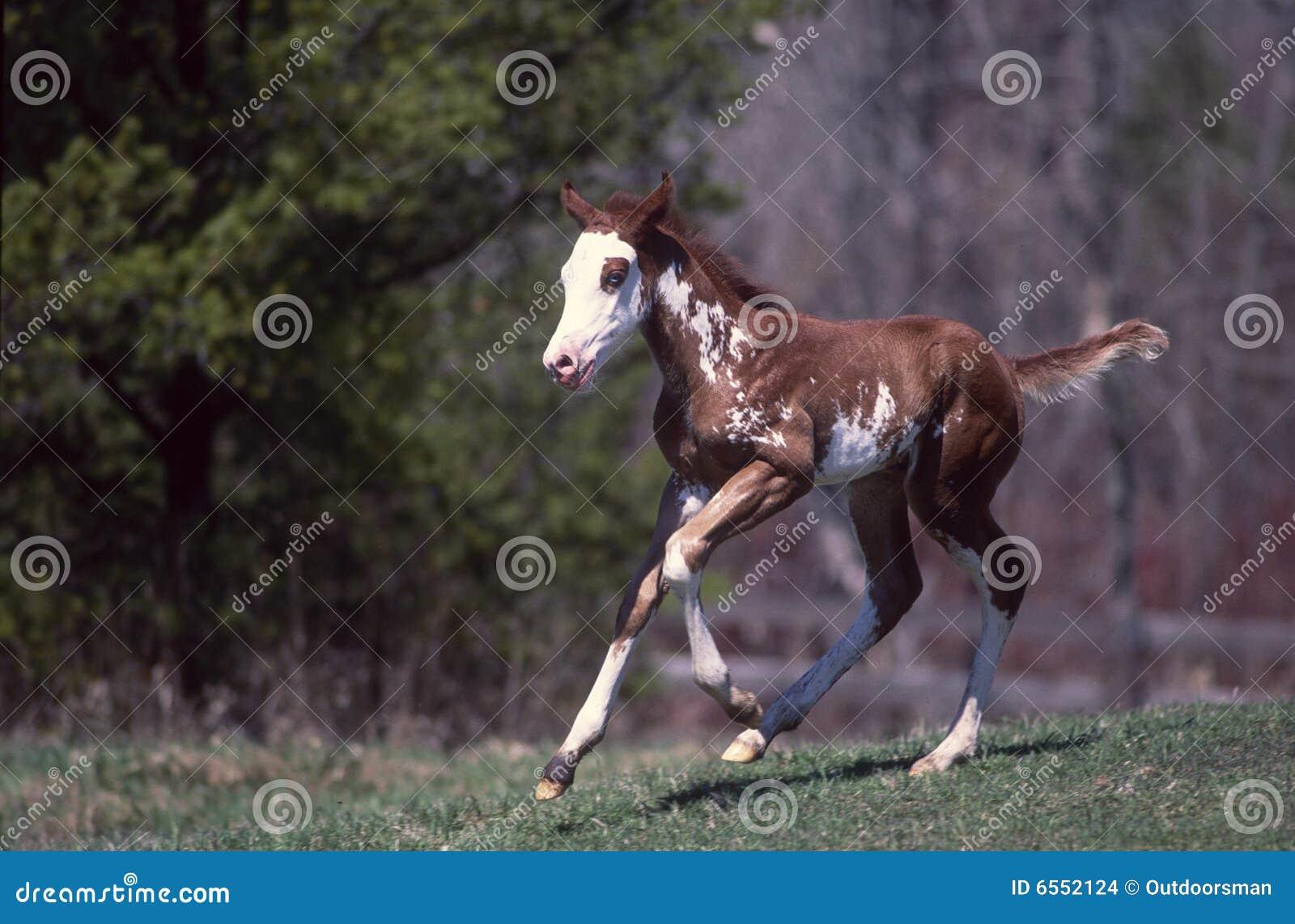 Het paardveulen van de verf