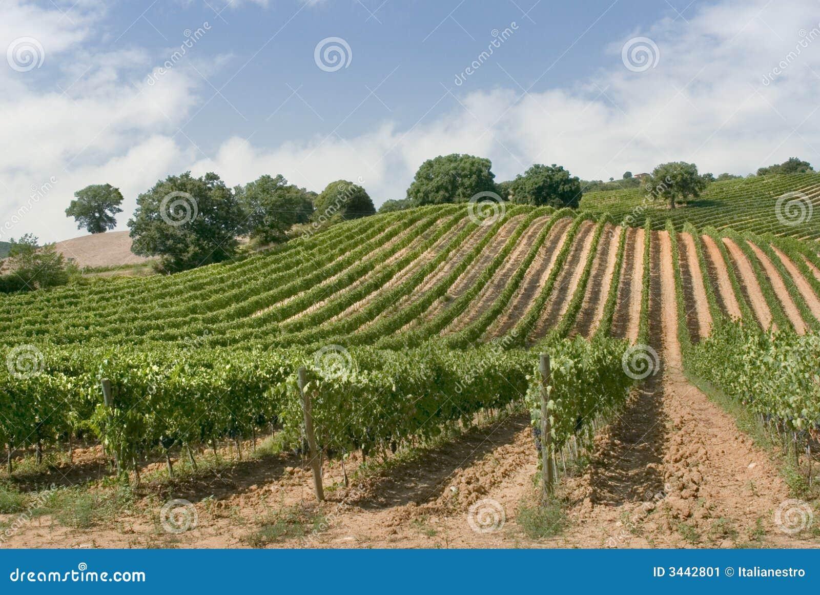 Het panorama van de wijngaard