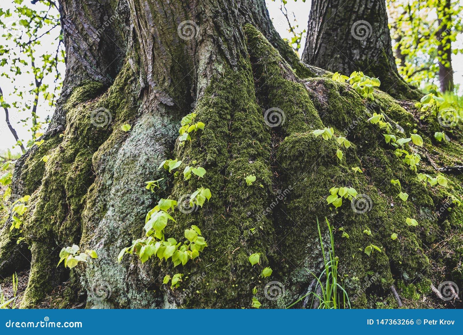 Het Park van Praag Pruhonice, boomstam van een boom met mos wordt behandeld dat