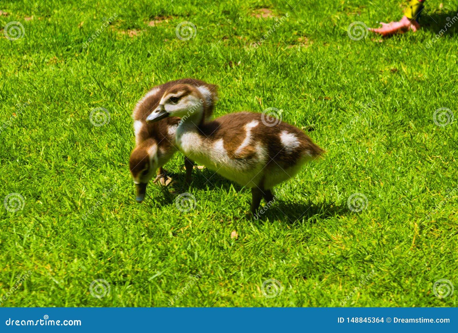Het pasgeboren babyeend spelen in het park