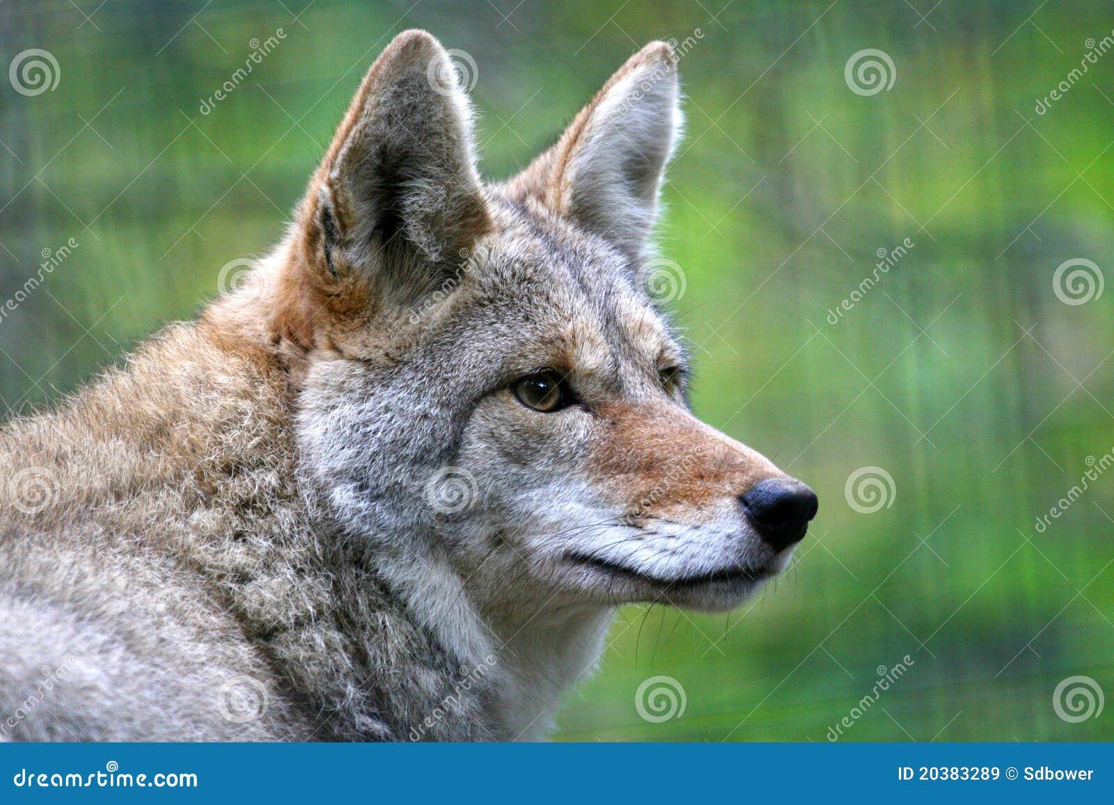 Het portret van de close-up van coyote in de winterlaag