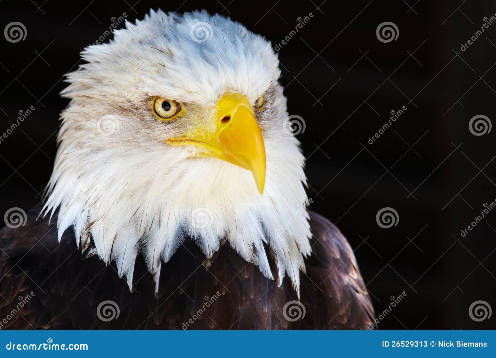 Het portret van de close-up van een Amerikaanse Kale Adelaar