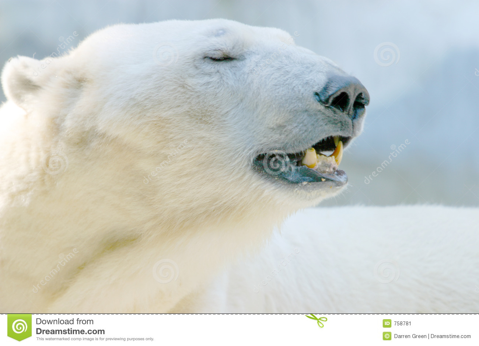 Het Portret van de Ijsbeer