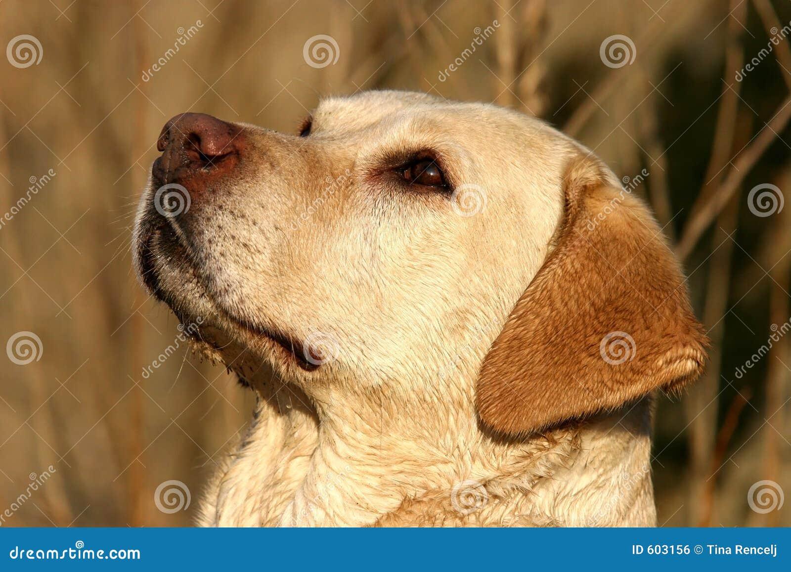 Het Portret van de labrador