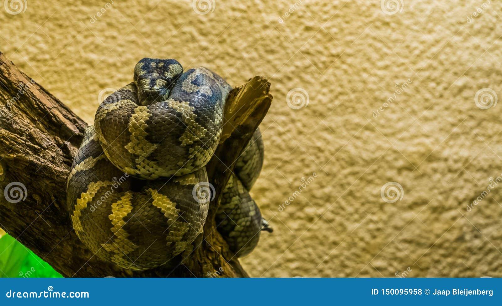 Het portret van een noordwestelijke tapijtpython rolde omhoog op een boomtak, tropisch reptiel van Australië