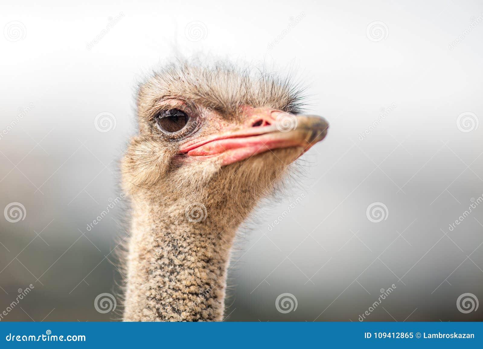 Het portret van een Struisvogel, sluit omhoog