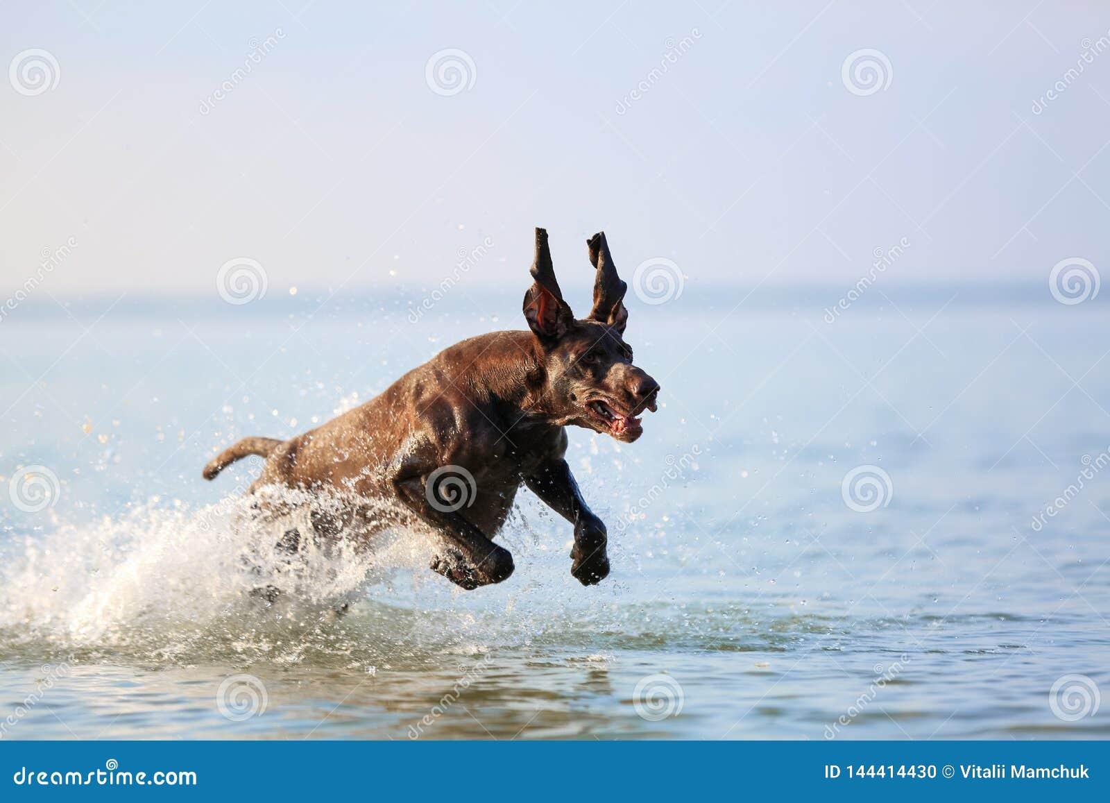 Het portret van Nice van de bruine kleur van de volbloed- jachthond Duitse kortharige wijzer Grappige verdraaide oren Binnen bevr