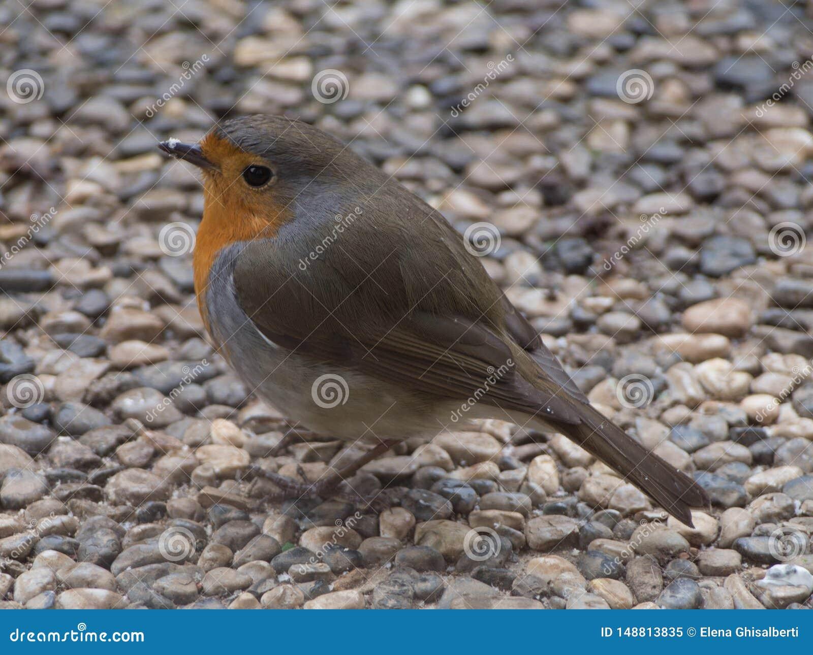 Het portret van Robin