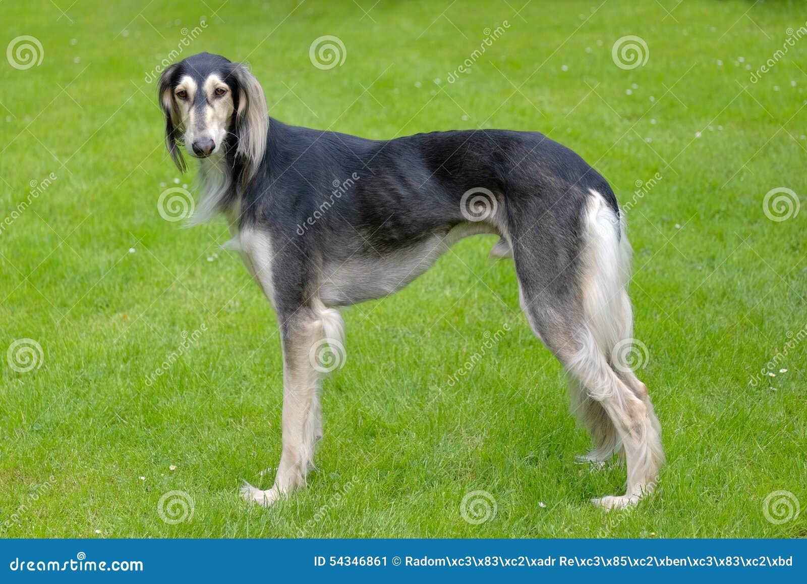 Het portret van Saluki-hond