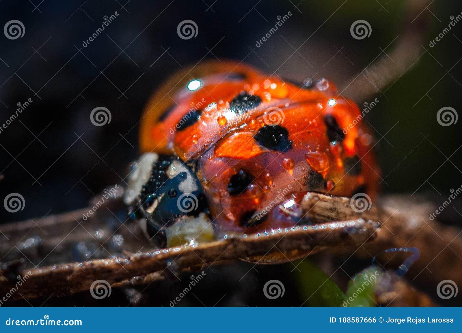 Het prachtige lieveheersbeestje verfraait aard