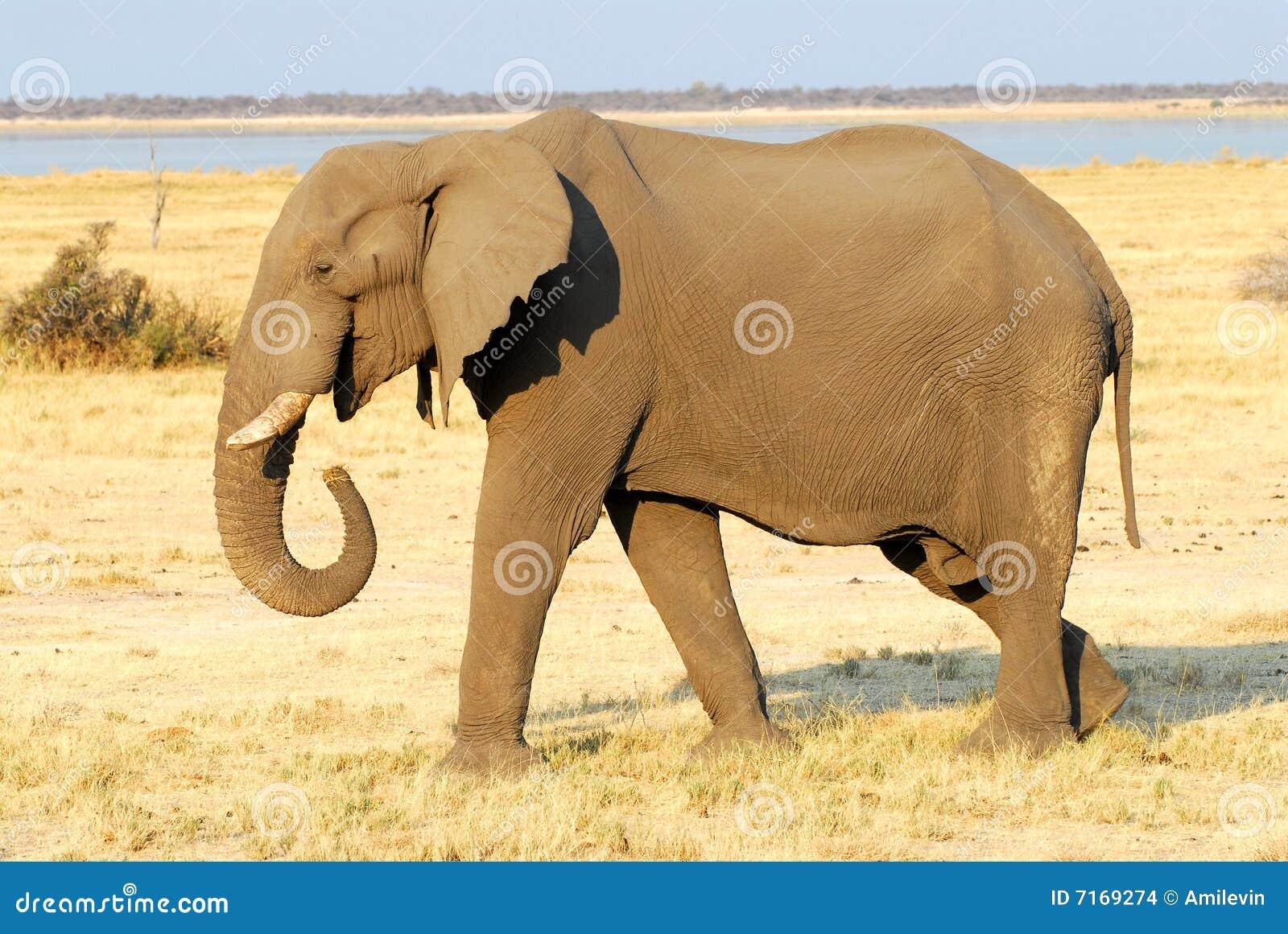 Elefant Trägt Löwenbaby