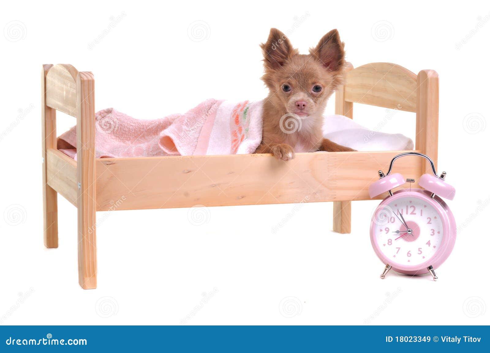 Het puppy dat van chihuahua in een bed met alarm klok ligt stock afbeelding afbeelding 18023349 - Bed dat rangschikt ...