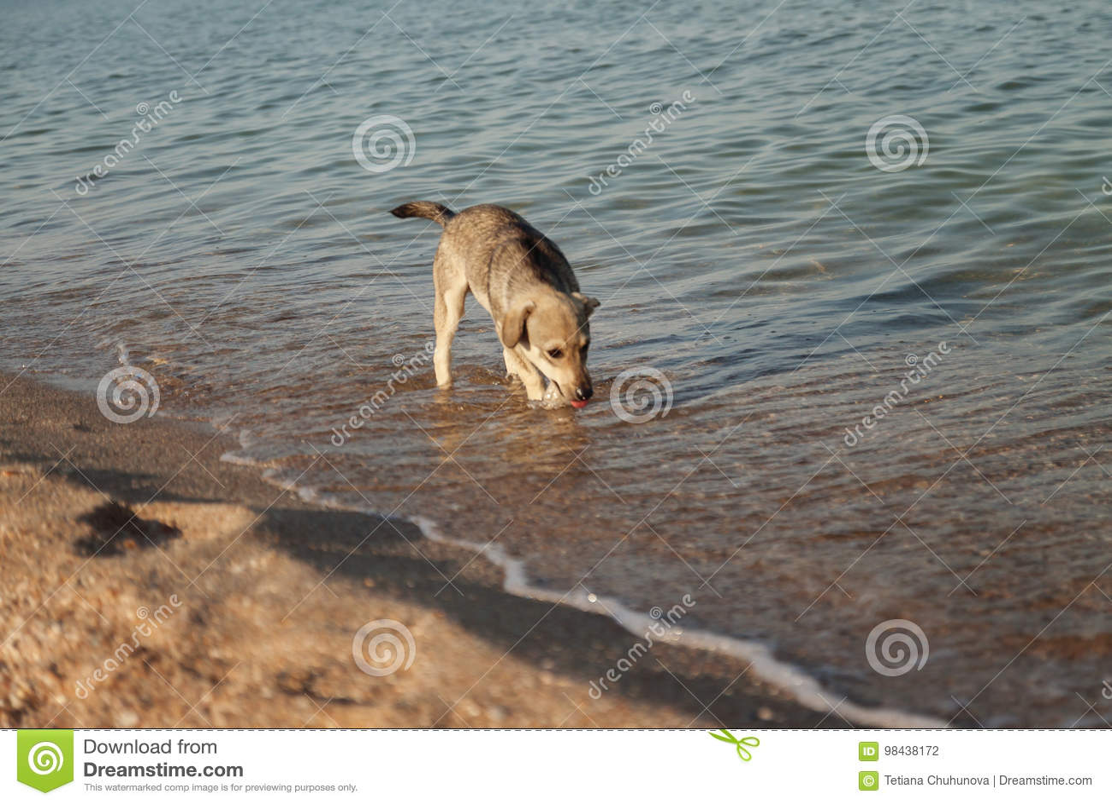Het puppy drinkt water in het overzees Conceptenhitte, hete dorst,