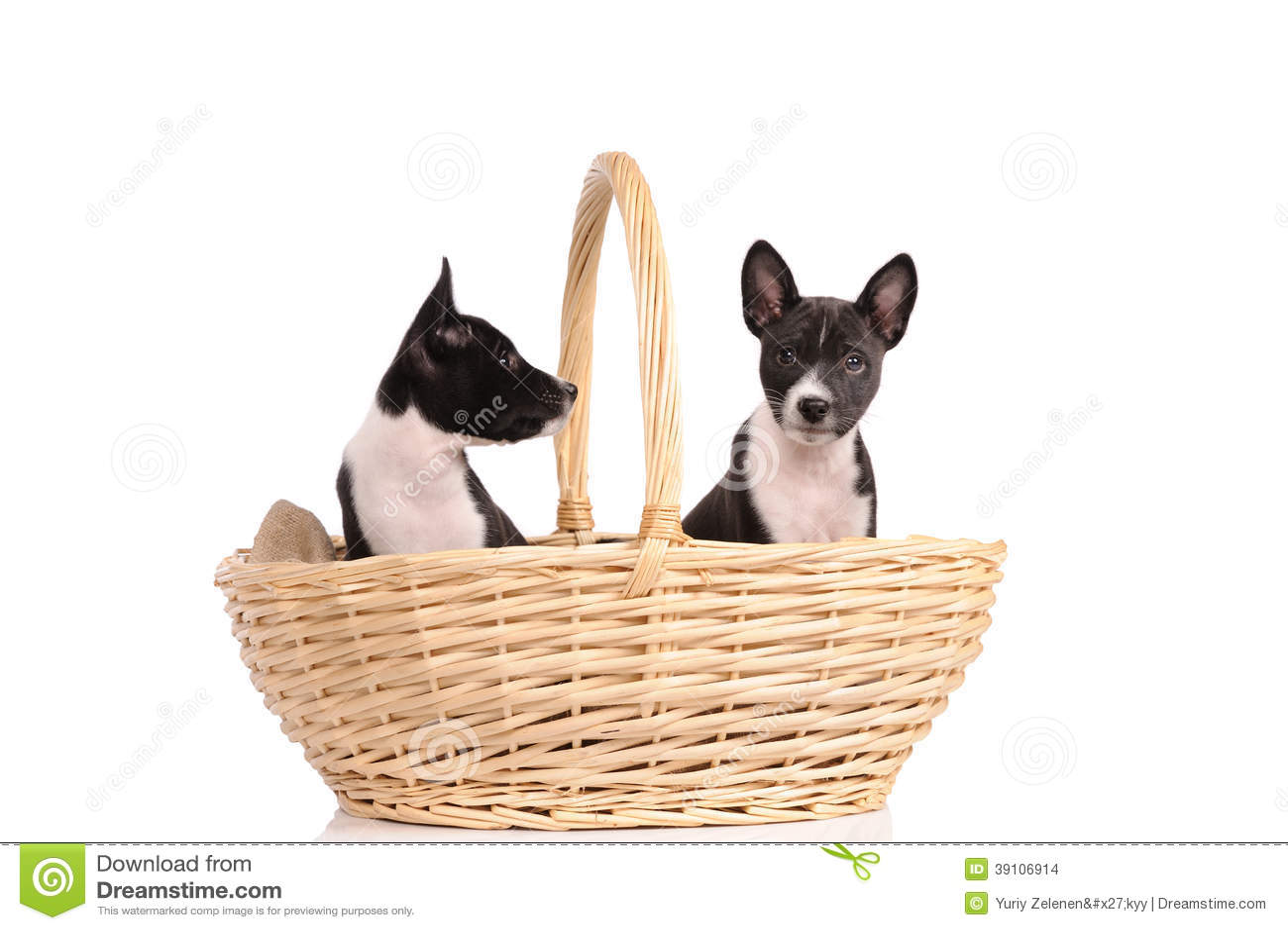 Het puppy van Basenjihonden in de mand