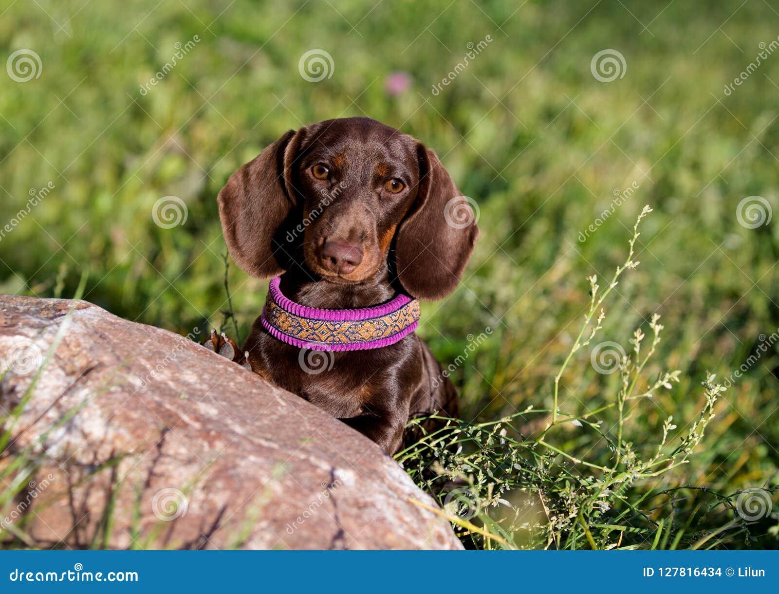 Het puppy van Brobntekkels de achtergrond van een groene weide