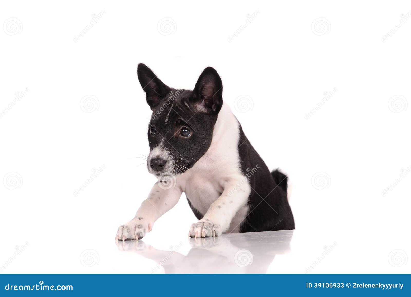 Het puppy van de Basenjihond