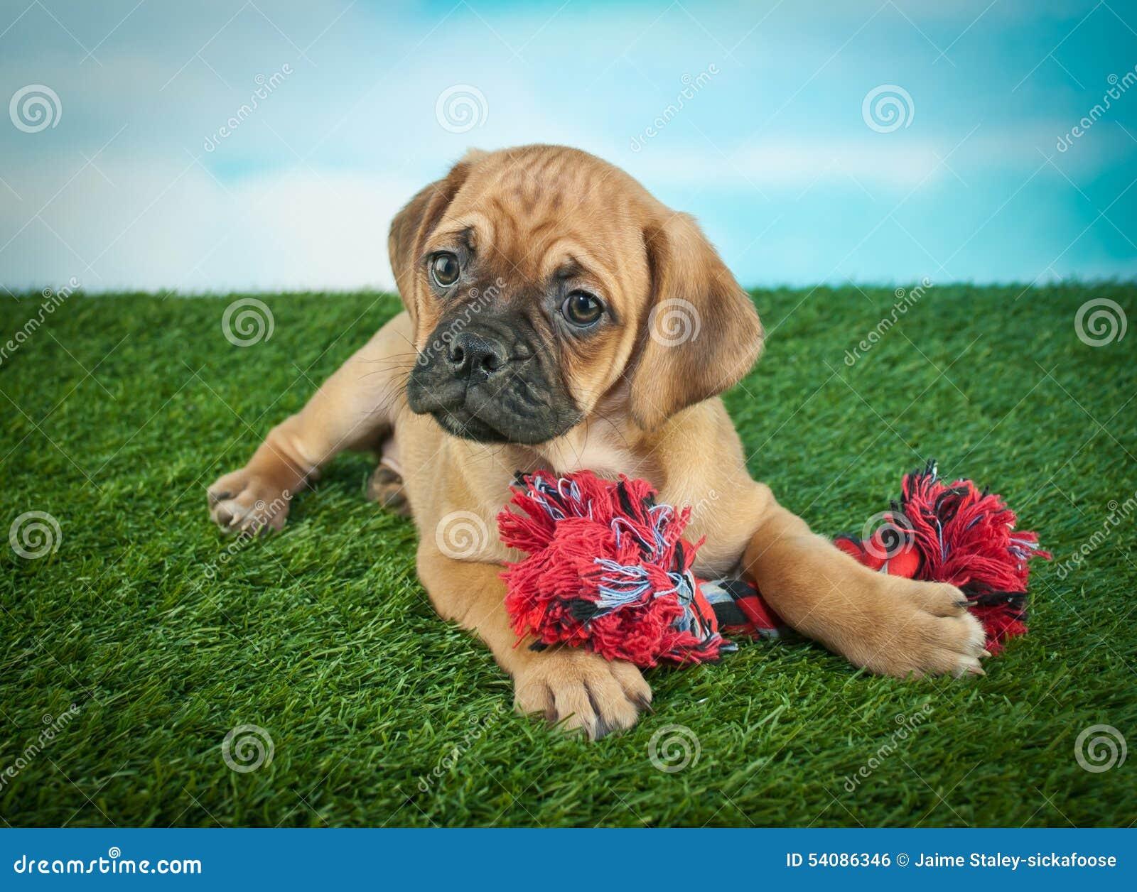 Het Puppy van de brakstier