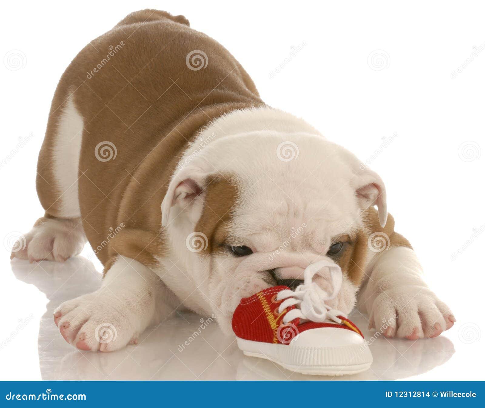 Het puppy van de buldog het kauwen op schoen