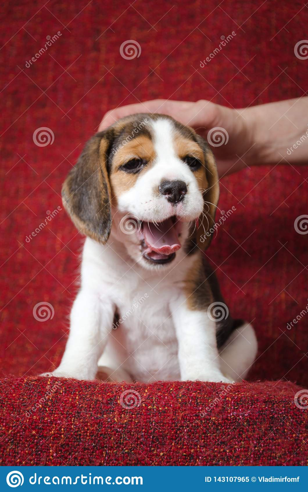 Het puppy van de geeuwbrak op rode achtergrond