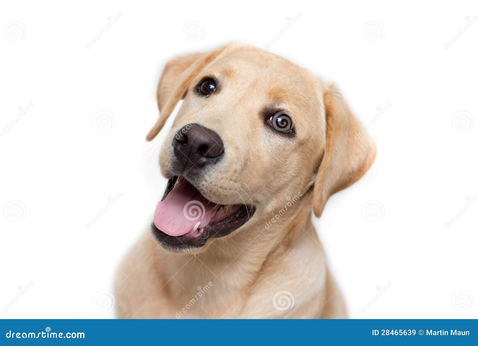 Het puppy van de labrador