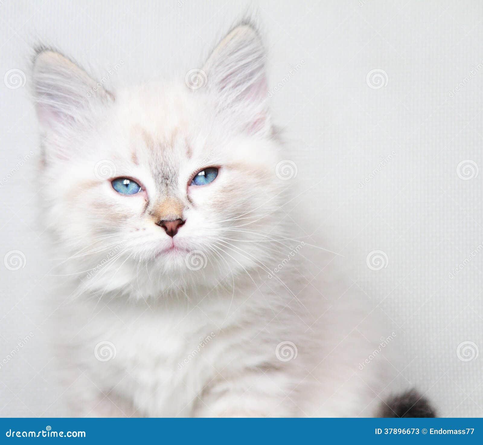 Het puppy van de Nevamaskerade van Siberische kat