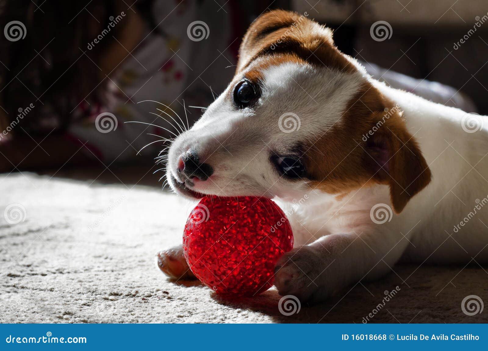 Het puppy van Jack Russel het spelen met Rode Bal