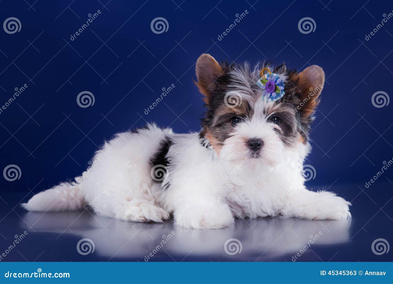 Het puppy York van de Beverterriër