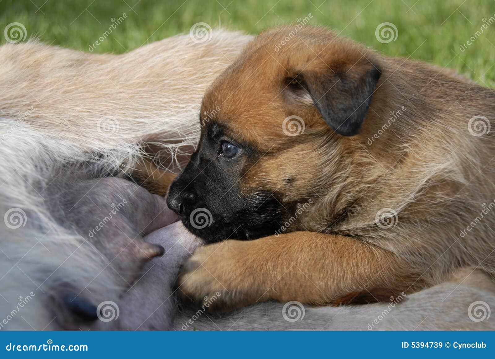 Het puppy zoogt