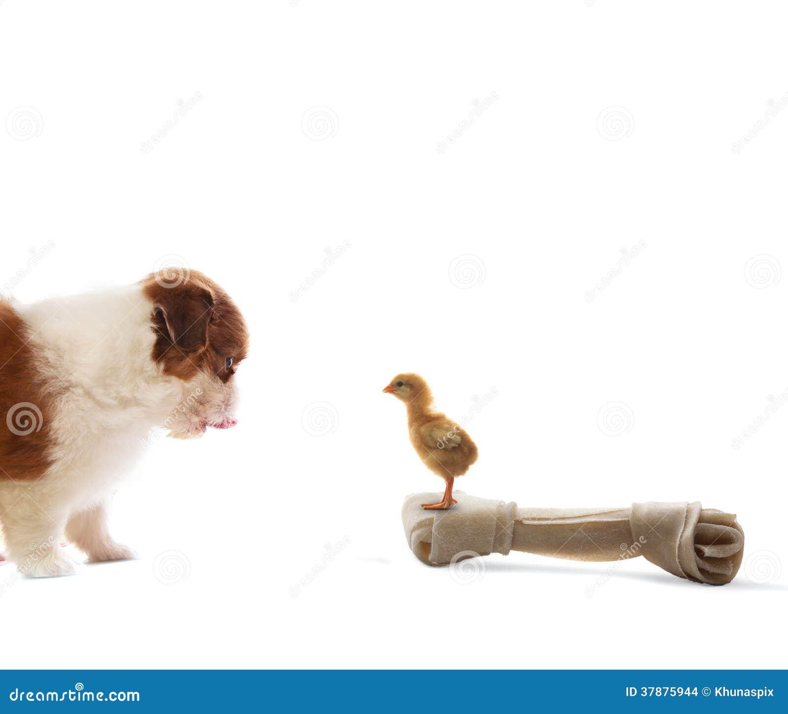 Het puppyhond die van baby shih tzu aan babykuiken kijken die zich op artifi bevinden
