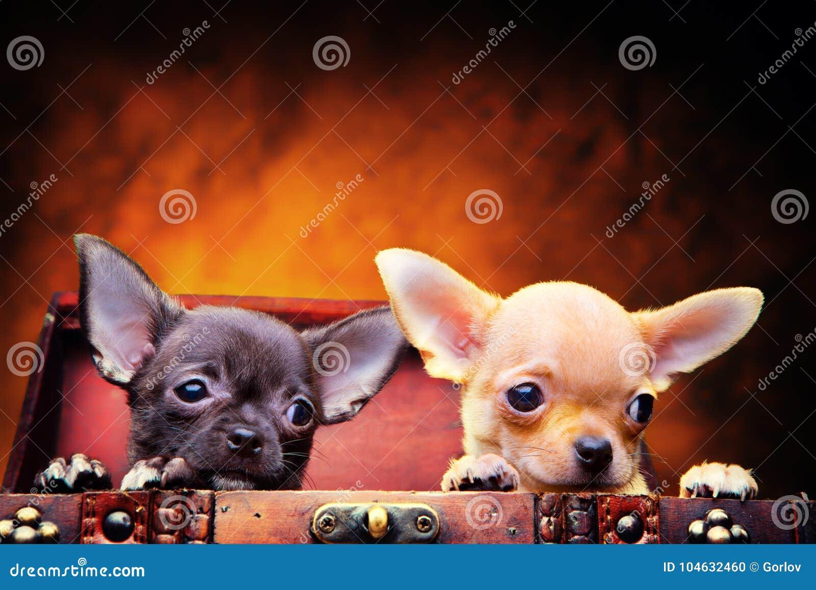 Download Het Puppyhond Van De Chihuahuababy In Studiokwaliteit Stock Foto - Afbeelding bestaande uit grappig, vrij: 104632460