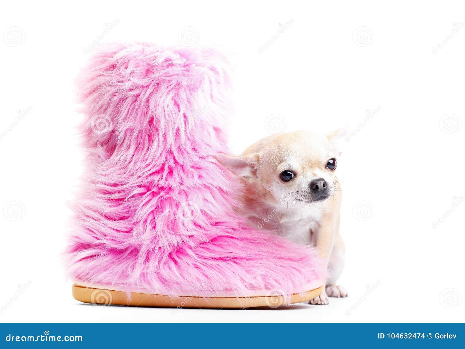 Download Het Puppyhond Van De Chihuahuababy In Studiokwaliteit Stock Foto - Afbeelding bestaande uit prentbriefkaar, studio: 104632474