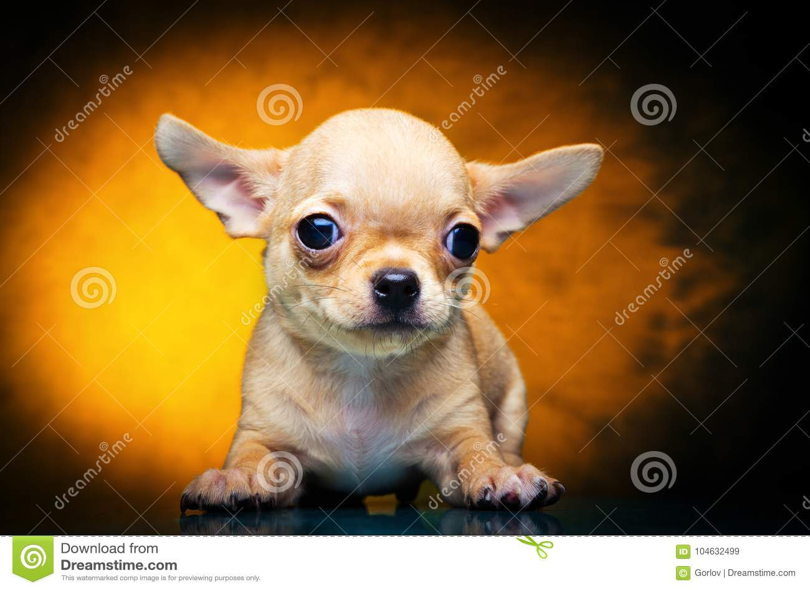 Download Het Puppyhond Van De Chihuahuababy In Studiokwaliteit Stock Afbeelding - Afbeelding bestaande uit vertebrate, hond: 104632499