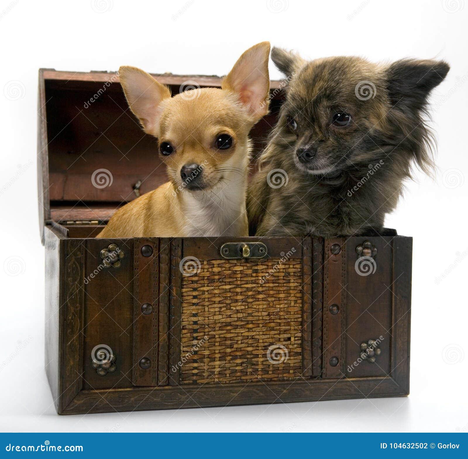 Download Het Puppyhond Van De Chihuahuababy In Studiokwaliteit Stock Foto - Afbeelding bestaande uit chihuahua, baby: 104632502