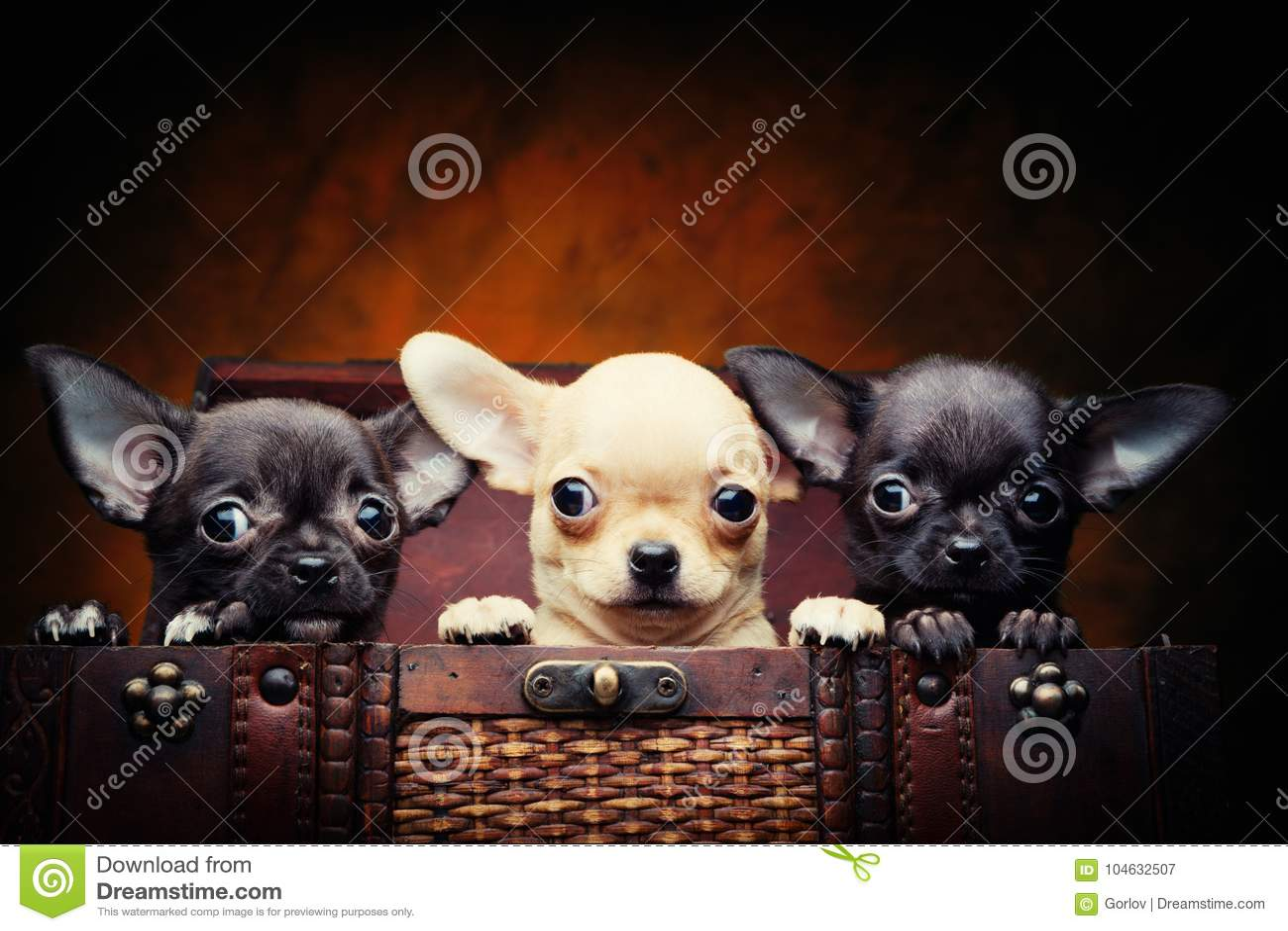 Download Het Puppyhond Van De Chihuahuababy In Studiokwaliteit Stock Afbeelding - Afbeelding bestaande uit kwaliteit, liefde: 104632507