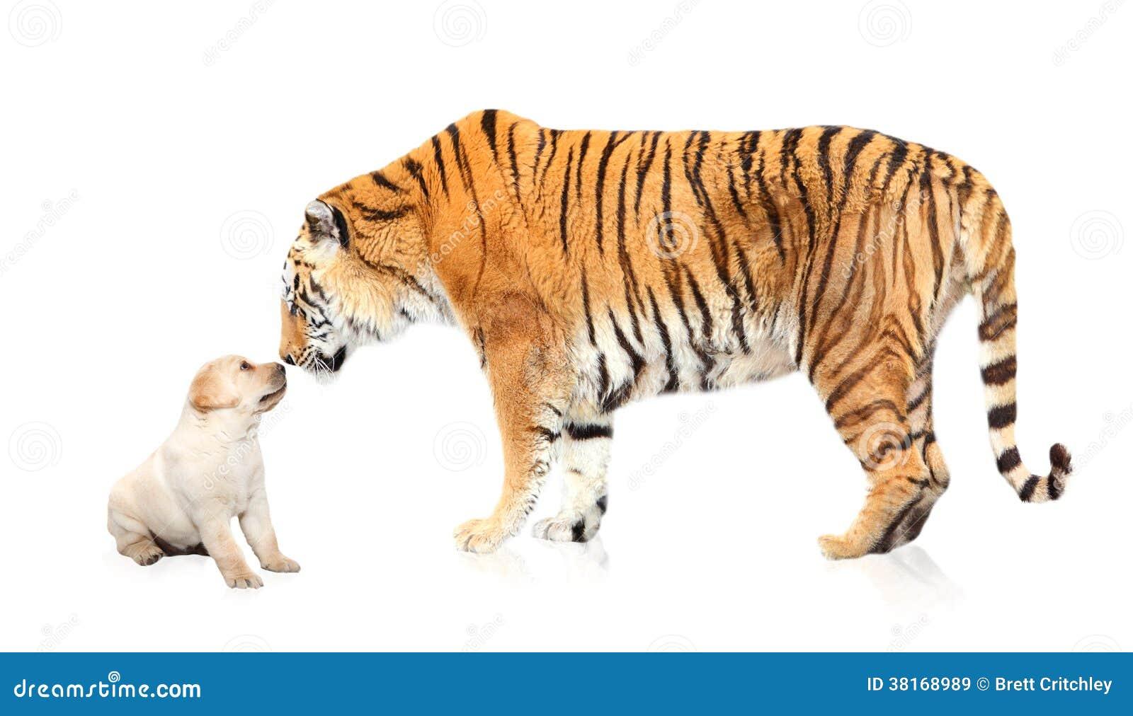 Het puppyhond van de tijgervergadering