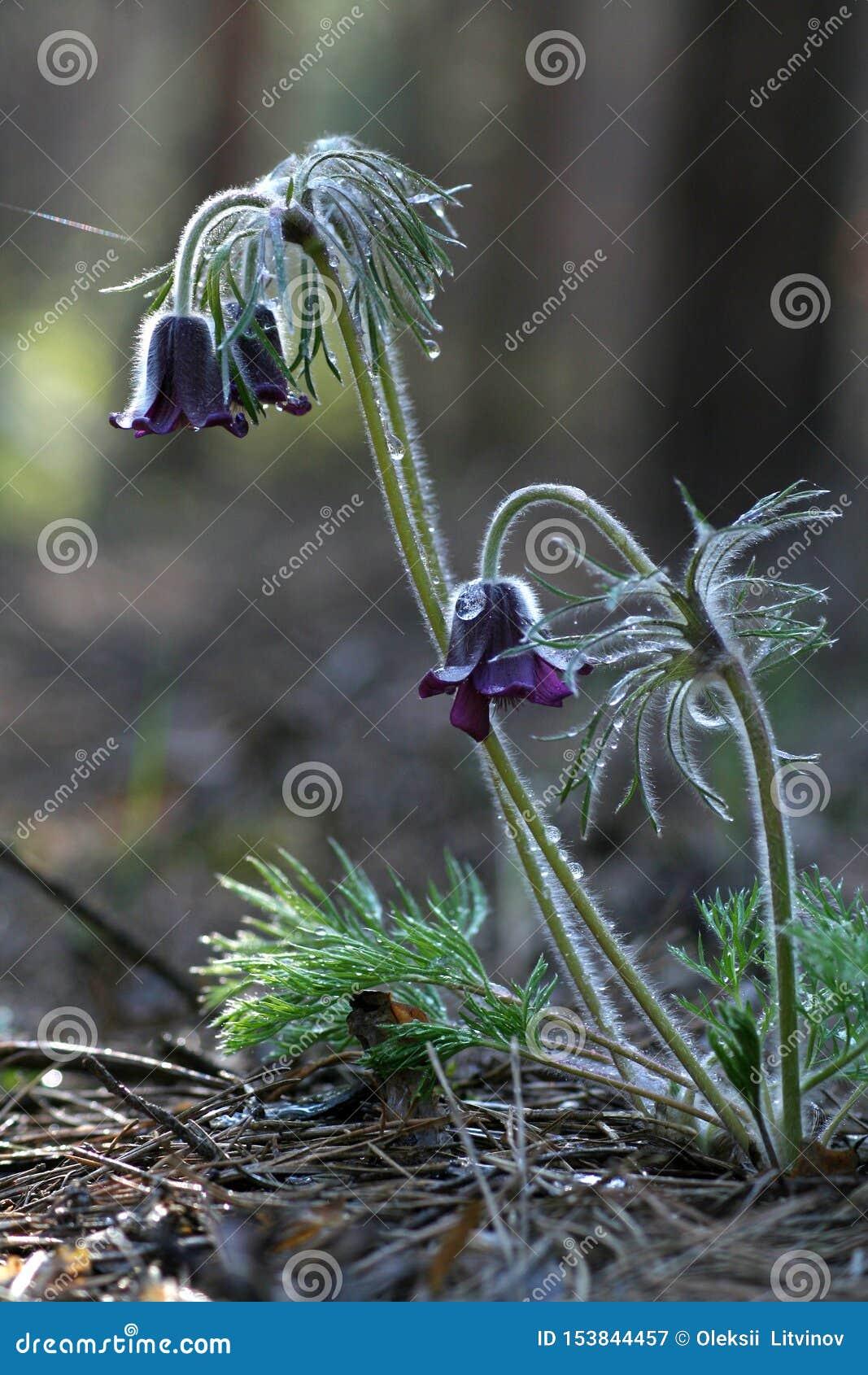 Het purpere gras van de bloemenslaap in het bos met dalingen van dauw