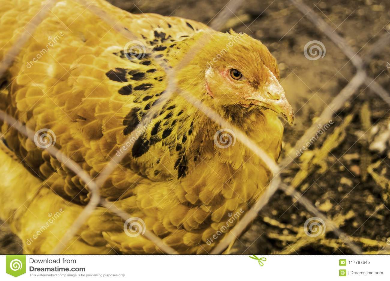 Het ras Brahma van het kippenclose-up