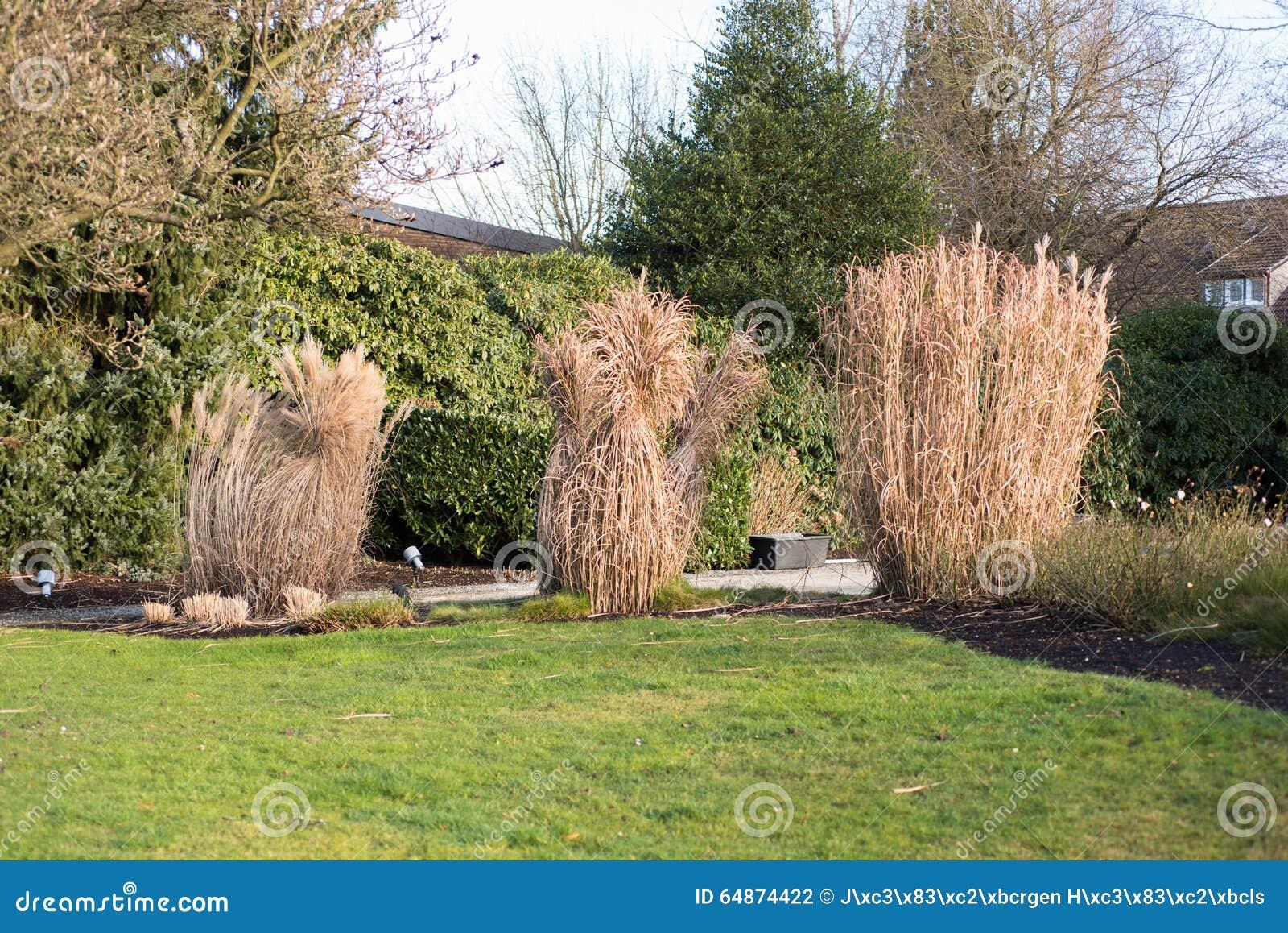 Het riet bond in de tuin in de winter samen stock foto afbeelding 64874422 - Riet voor struik ...