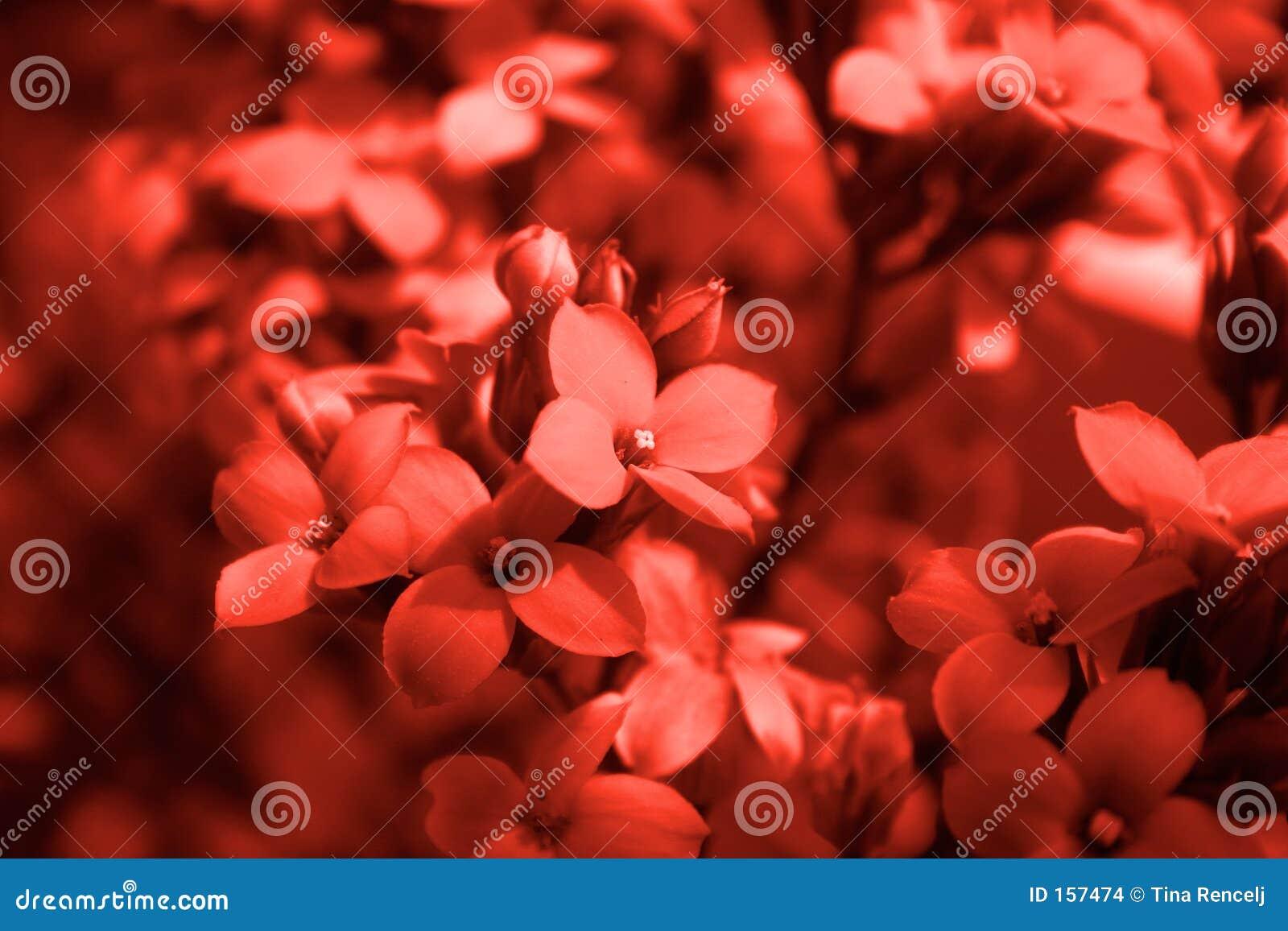 Het rode Detail van de Bloem