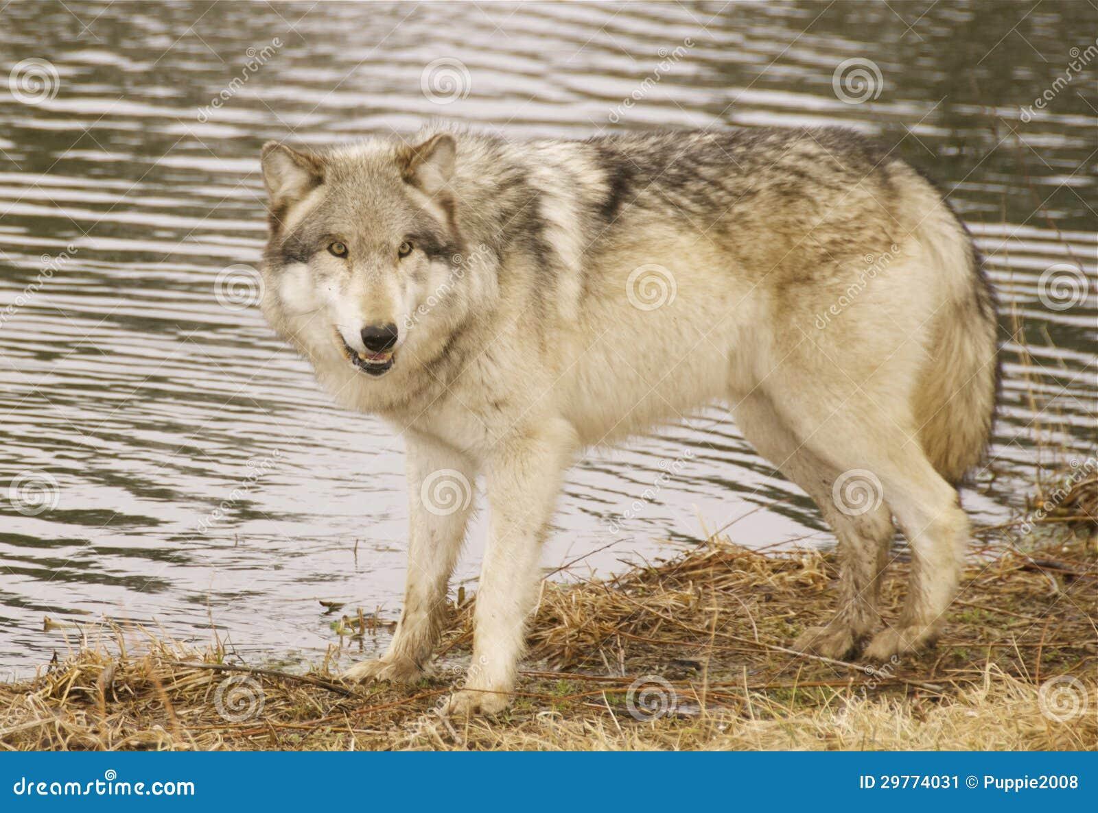 Rode wolf