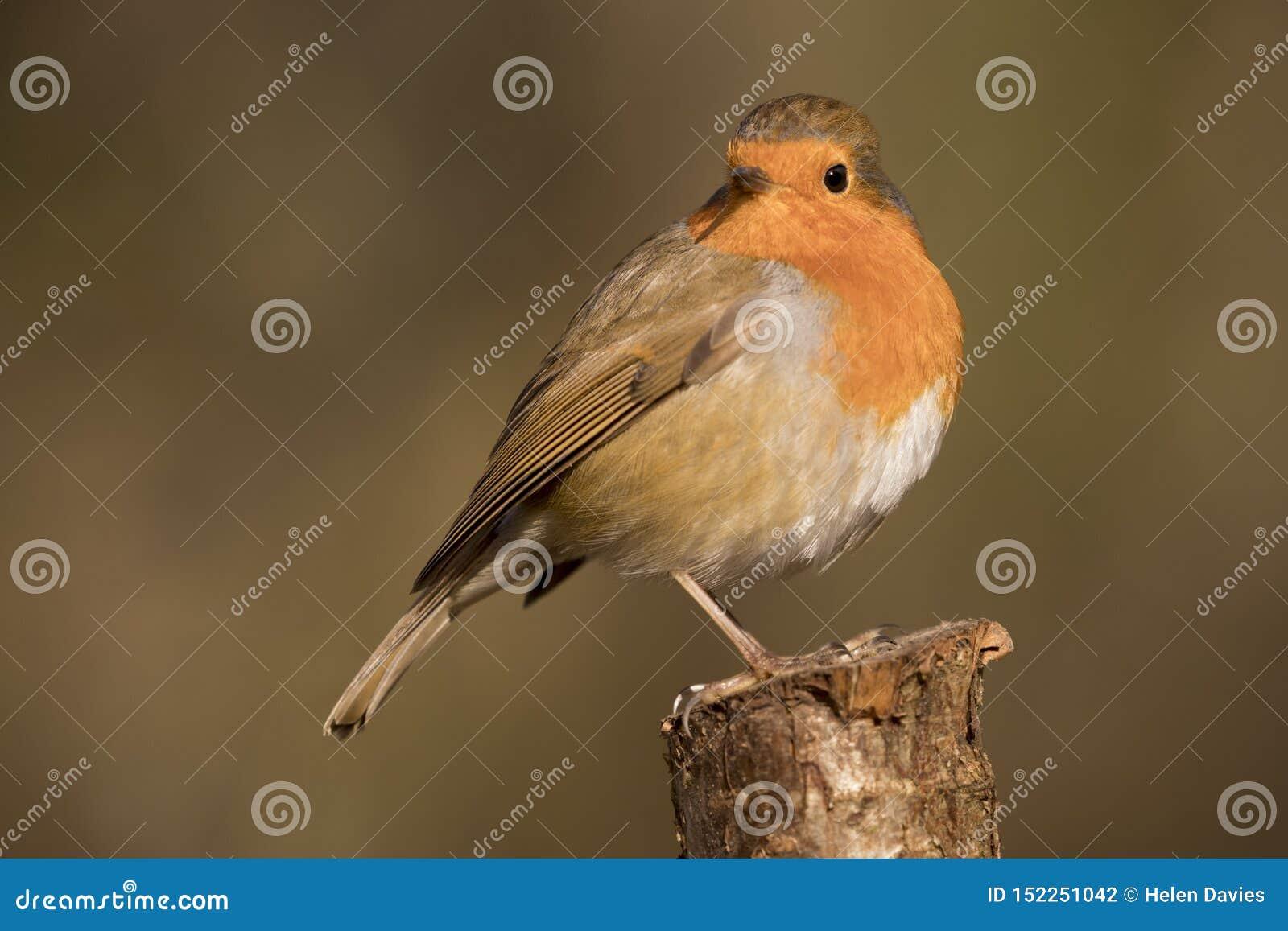 Het roodborstjevogel van Robin, erithacusrubecula op een tak wordt neergestreken die