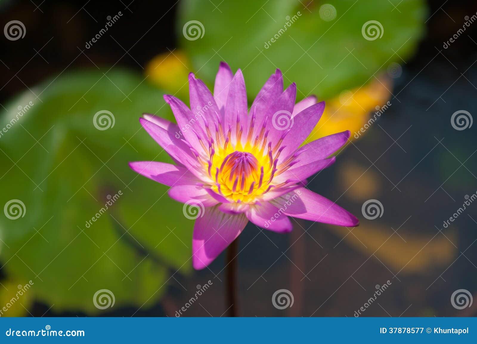 Het roze bloeit waterlily
