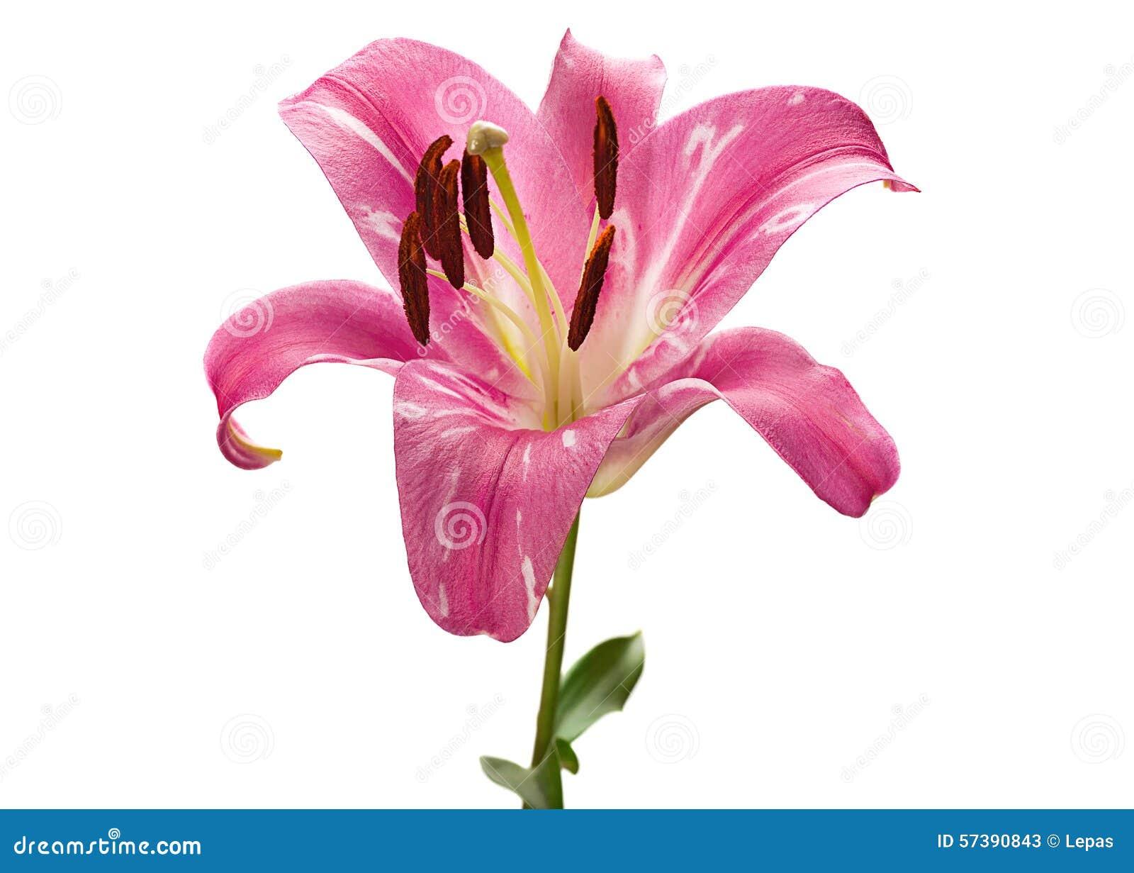 Het roze hoofd van de leliebloem