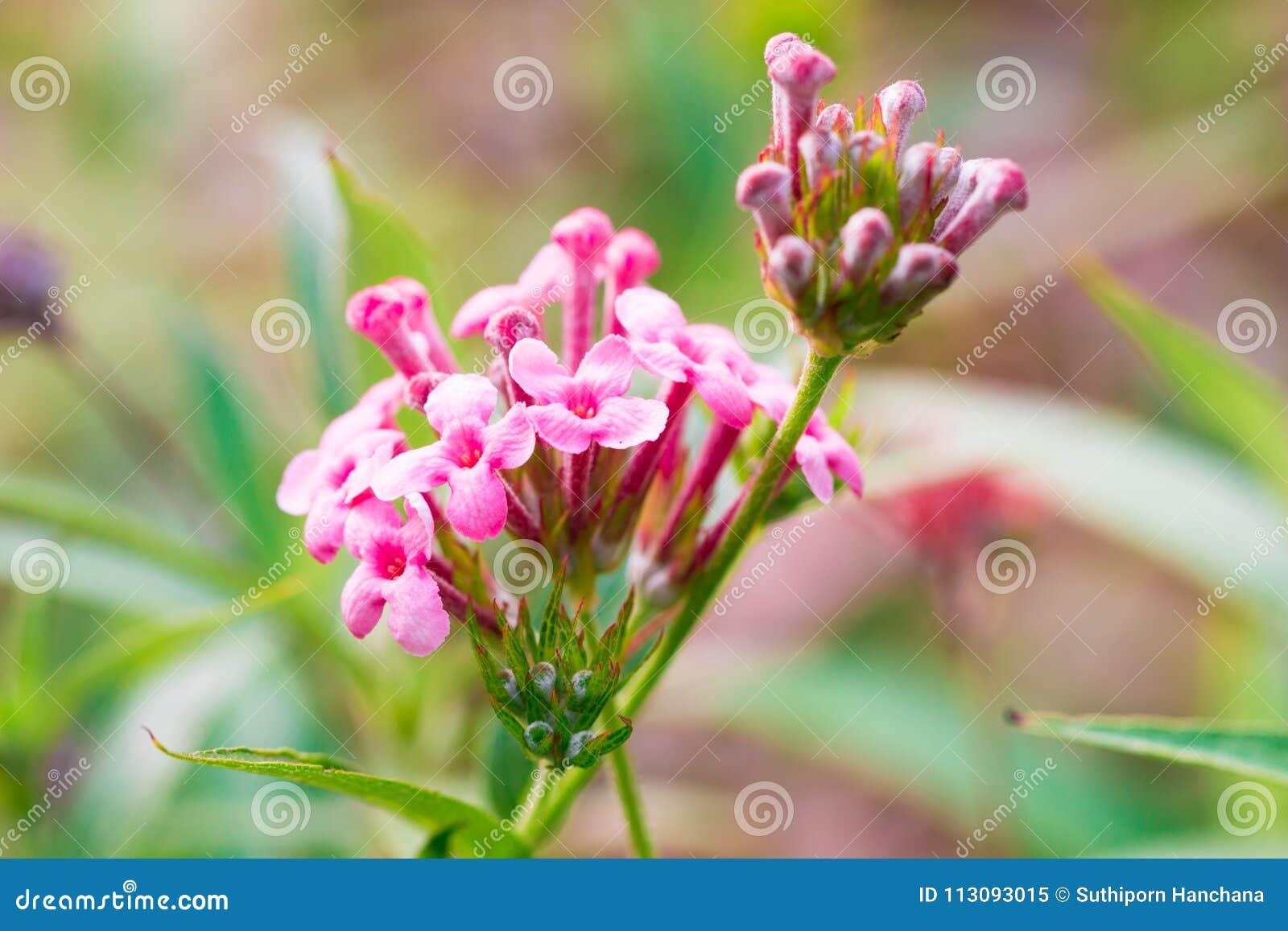 Het roze Ijzerkruid, het ondubbelzinnig makenbloem isoleert in de de lentezomer