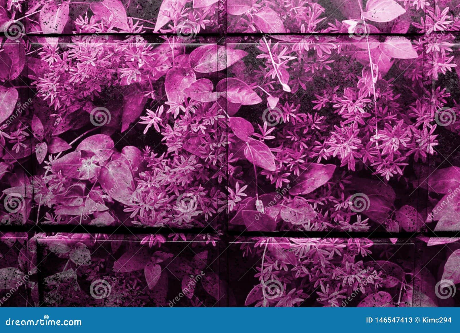 Het roze/purple vormde verglaasde keukentegels in close-upmening